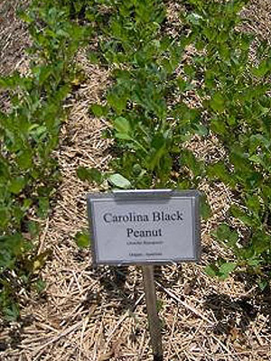 Carolina Black Peanuts